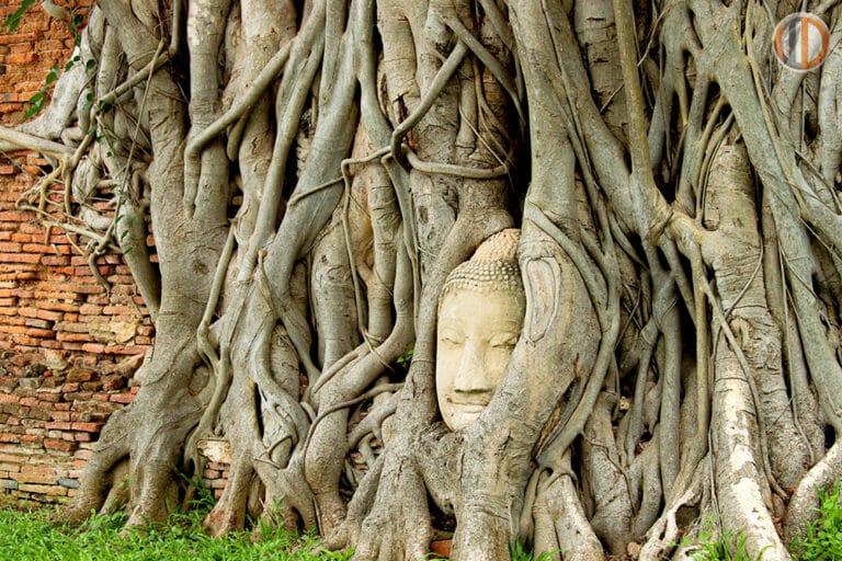 เศียรพระพุทธรูป 100 ปี ในรากต้นโพธ์บริเวณใกล้ ๆ กับวิหารเล็ก ซึ่งคาดว่าเศียรพระพุทธรูปนี้หล่นลงมาอยู่ที่โคนต้นไม้ในสมัยเสียกรุงครั้งที่ 2 จนรากไม้ขึ้นปกคลุม ทำให้มีความงดงามแปลกตา กลายเป็นสิ่งมหัศจรรย์ และทำให้วัดแห่งนี้กลายเป็นวัดที่มีชื่อเสียง